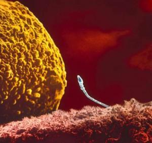 Spermatozoizii fac cunostinta cu ovulul