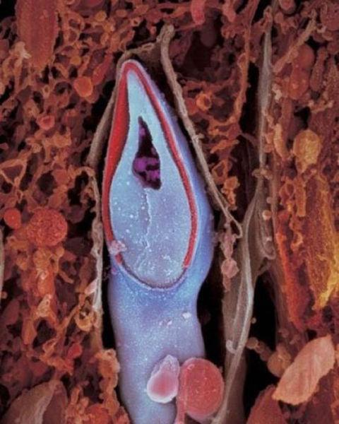 Un spermatozoid in detaliu