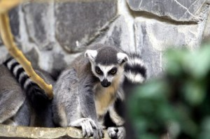 lemurieni