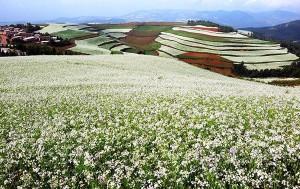 campii cu flori colorate