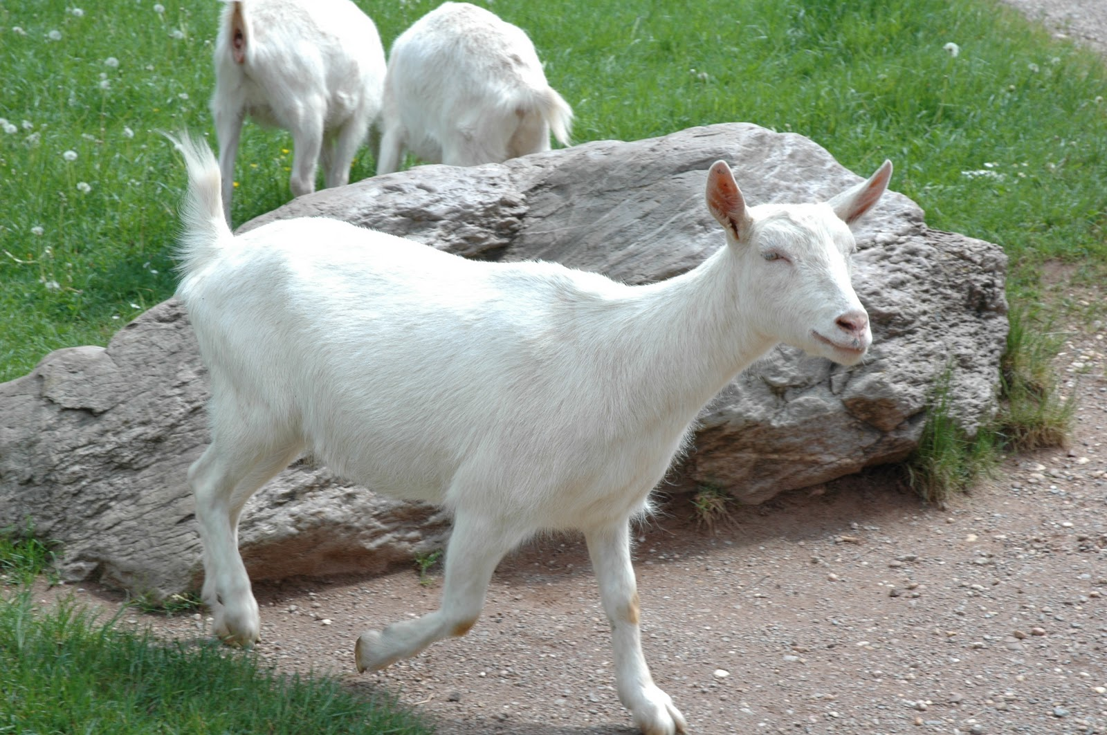 lapte de capra in Galati