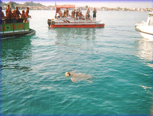 Testoase Caretta Caretta in Zakynthos